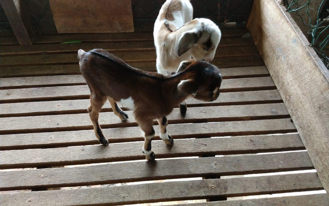 een geboorte van een geitje live gezien