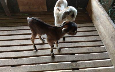 geboorte van een geitje